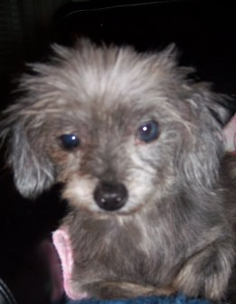 Pebbles, Silkie TerrierX     Rescued from puppy mill raid at age 2. Now 11 years old.
