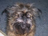 Roxie, Brussels Griffon, Rescued at age two from puppy mill. Now eleven years old.  A real cutie!