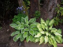 "Hostas, in the ""Secret Garden"""